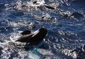 Pilot Whales off the Bow