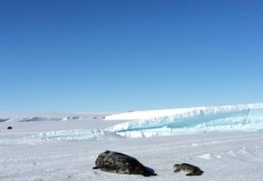 Seal with pup beside Mount Erebus glacier tongue