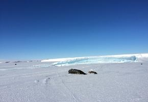 Wedell seal, Weddell seal pup, and Adelie penguin beside Mount Erebus glacier tongue