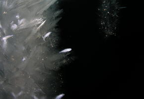Ice Fish (Trematomus borchgrevinki)
